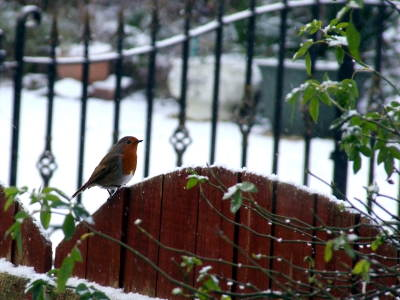 Photo of a robin on a gate with a background of snow an wrought iron gates